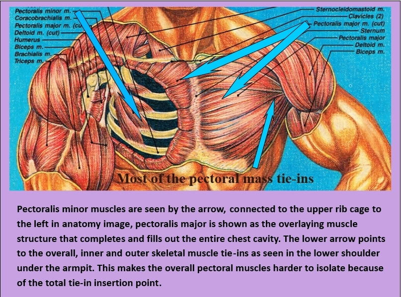 Muscular anatomy of the chest