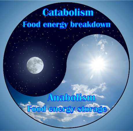 Metabolism Yin and Yang